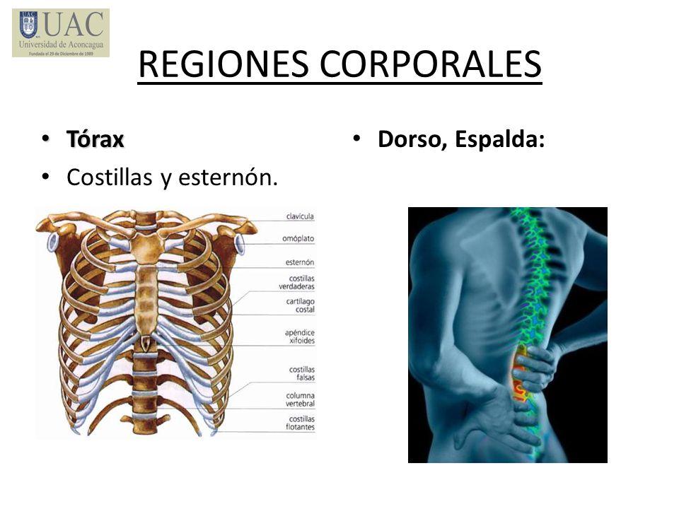 REGIONES CORPORALES Tórax Tórax Costillas y esternón. Dorso, Espalda: