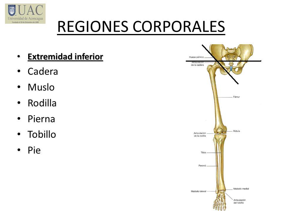 REGIONES CORPORALES Extremidad inferior Extremidad inferior Cadera Muslo Rodilla Pierna Tobillo Pie