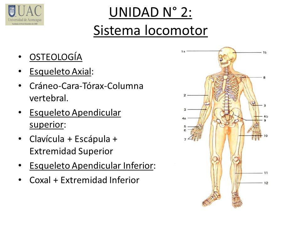 UNIDAD N° 2: Sistema locomotor OSTEOLOGÍA Esqueleto Axial: Cráneo-Cara-Tórax-Columna vertebral. Esqueleto Apendicular superior: Clavícula + Escápula +