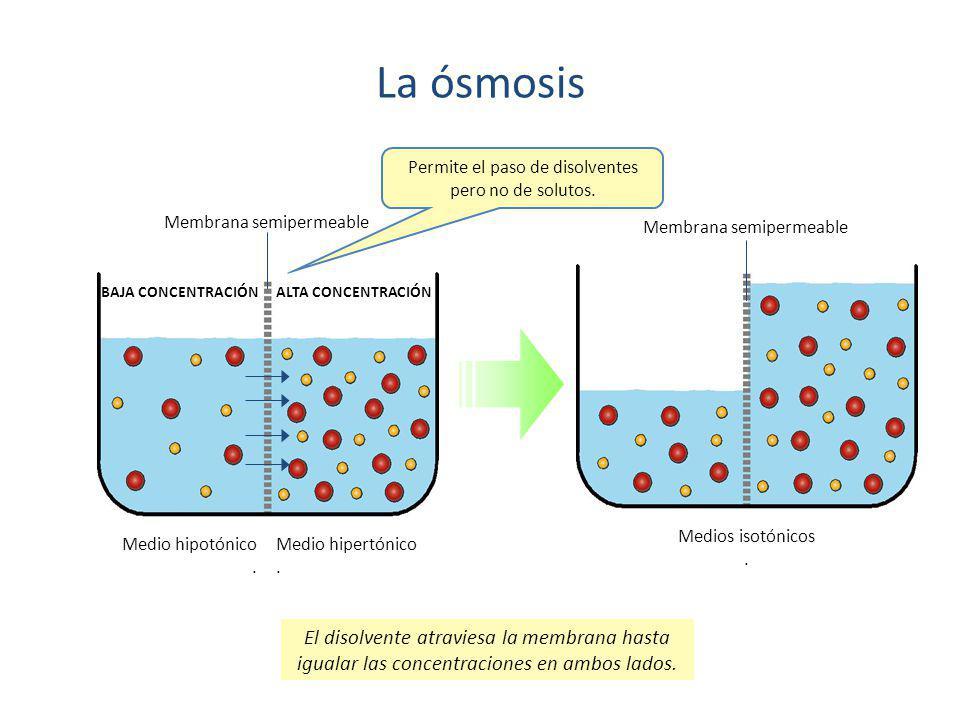 La ósmosis Medio hipotónico. Medio hipertónico. Medios isotónicos. BAJA CONCENTRACIÓN ALTA CONCENTRACIÓN Membrana semipermeable Permite el paso de dis
