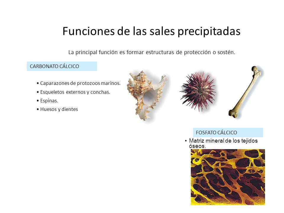 Funciones de las sales precipitadas La principal función es formar estructuras de protección o sostén. CARBONATO CÁLCICO Caparazones de protozoos mari