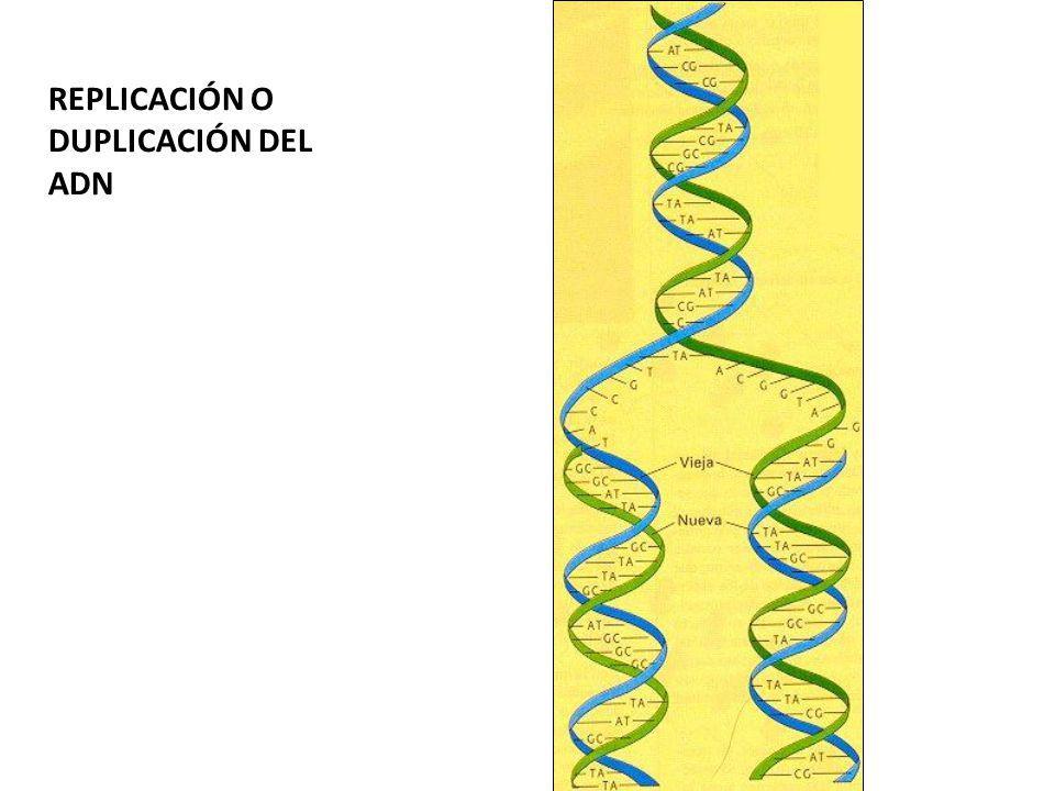 REPLICACIÓN O DUPLICACIÓN DEL ADN