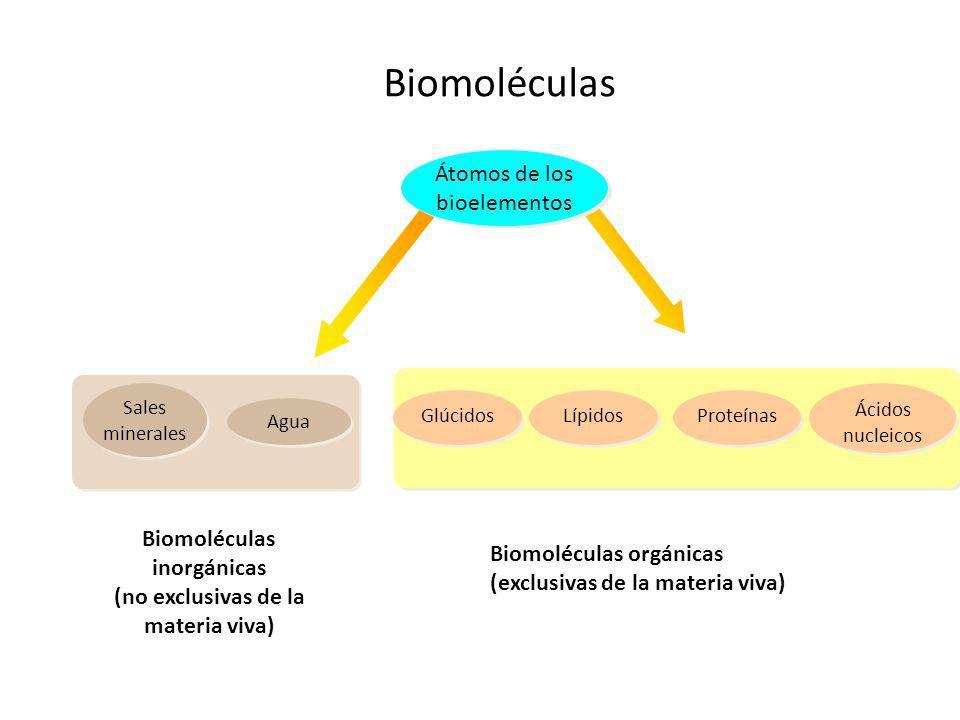 Biomoléculas inorgánicas (no exclusivas de la materia viva) Átomos de los bioelementos Ácidos nucleicos ProteínasLípidosGlúcidos Agua Sales minerales Biomoléculas Biomoléculas orgánicas (exclusivas de la materia viva)