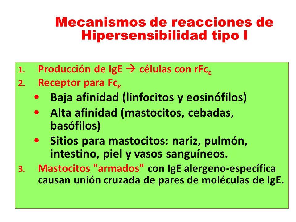 Mecanismos de reacciones de Hipersensibilidad tipo I 1. Producción de IgE células con rFc ε 2. Receptor para Fc ε Baja afinidad (linfocitos y eosinófi