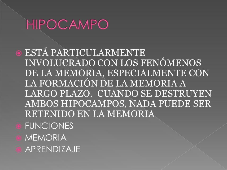 ESTÁ PARTICULARMENTE INVOLUCRADO CON LOS FENÓMENOS DE LA MEMORIA, ESPECIALMENTE CON LA FORMACIÓN DE LA MEMORIA A LARGO PLAZO.