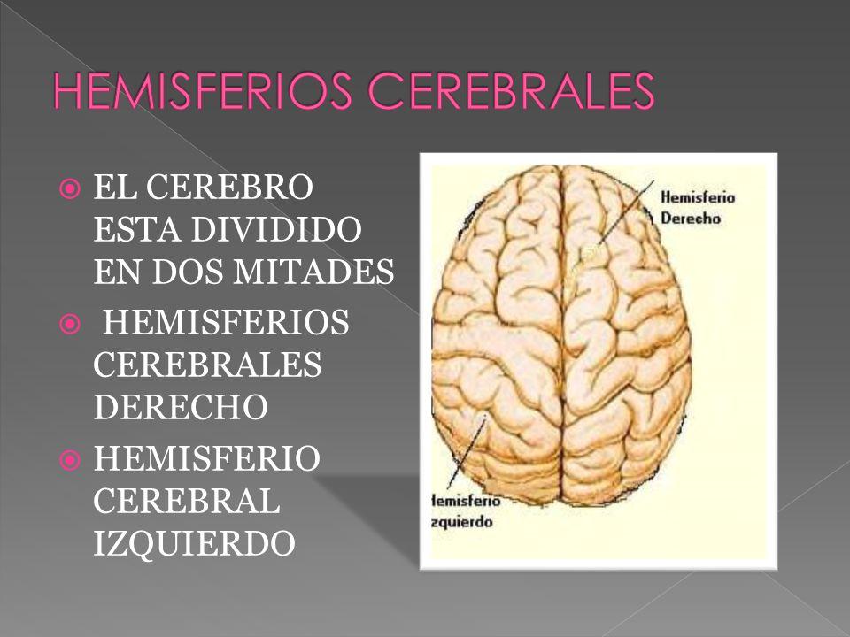 EL CEREBRO ESTA DIVIDIDO EN DOS MITADES HEMISFERIOS CEREBRALES DERECHO HEMISFERIO CEREBRAL IZQUIERDO