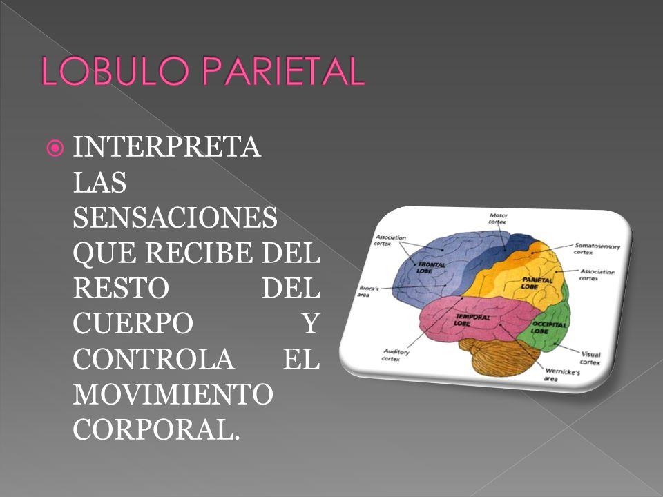 INTERPRETA LAS SENSACIONES QUE RECIBE DEL RESTO DEL CUERPO Y CONTROLA EL MOVIMIENTO CORPORAL.