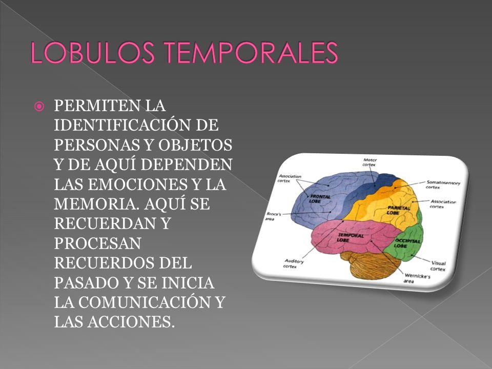 PERMITEN LA IDENTIFICACIÓN DE PERSONAS Y OBJETOS Y DE AQUÍ DEPENDEN LAS EMOCIONES Y LA MEMORIA.