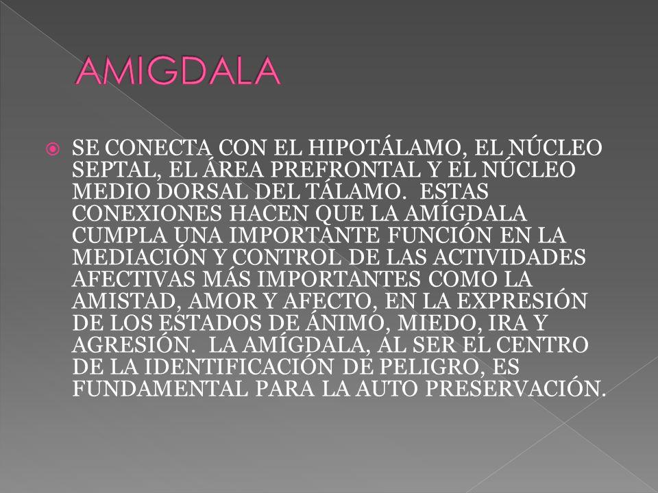 SE CONECTA CON EL HIPOTÁLAMO, EL NÚCLEO SEPTAL, EL ÁREA PREFRONTAL Y EL NÚCLEO MEDIO DORSAL DEL TÁLAMO.