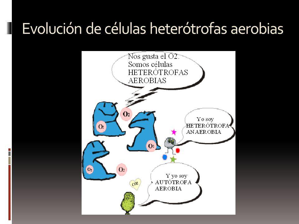 Evolución de células heterótrofas aerobias