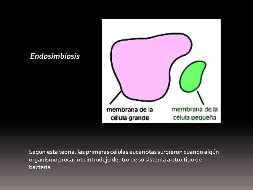 Endosimbiosis Según esta teoría, las primeras células eucariotas surgieron cuando algún organismo procariota introdujo dentro de su sistema a otro tip