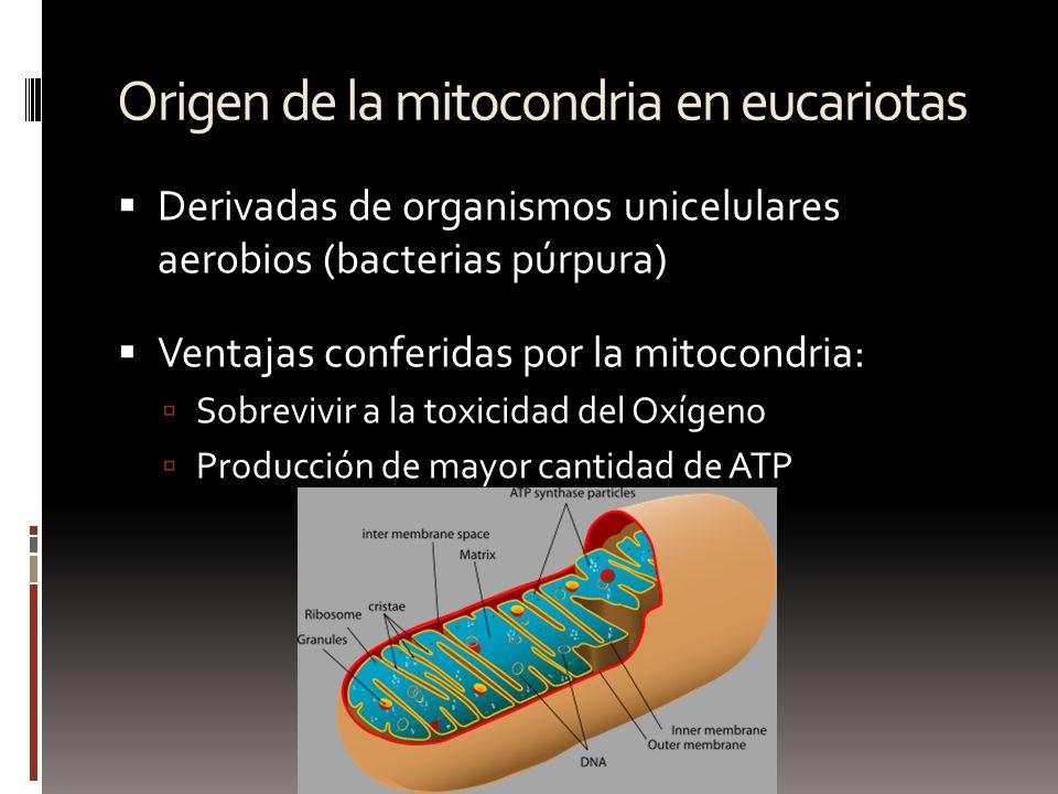 Origen de la mitocondria en eucariotas Derivadas de organismos unicelulares aerobios (bacterias púrpura) Ventajas conferidas por la mitocondria: Sobre