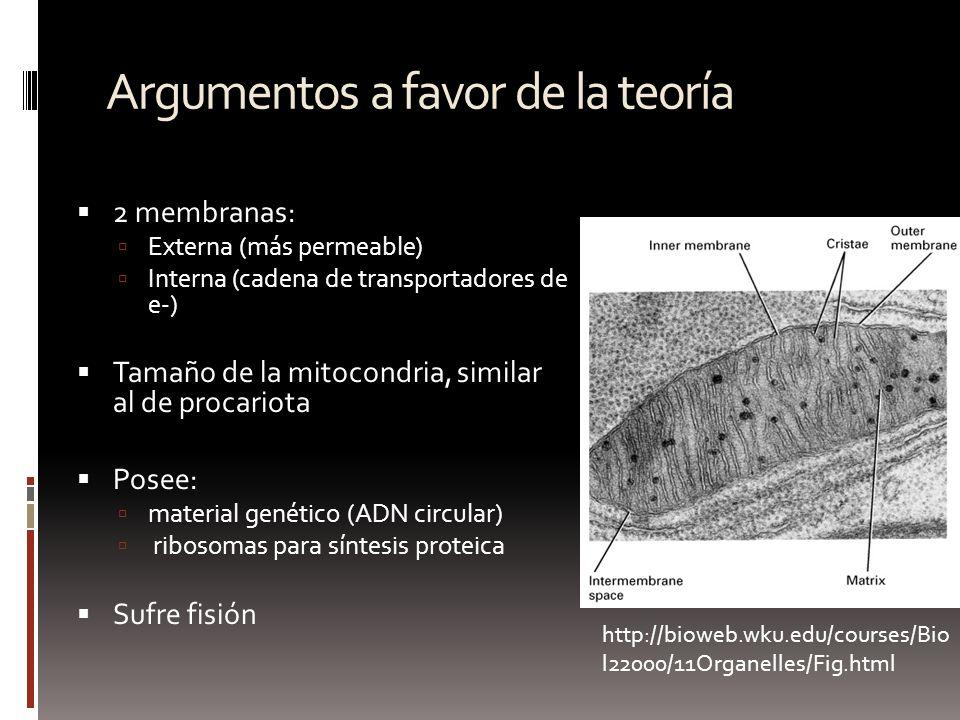 Argumentos a favor de la teoría 2 membranas: Externa (más permeable) Interna (cadena de transportadores de e-) Tamaño de la mitocondria, similar al de