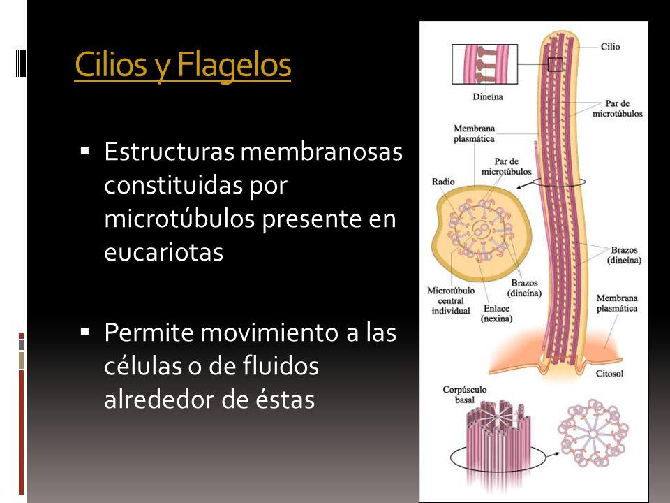 Cilios y Flagelos Cilios y Flagelos Estructuras membranosas constituidas por microtúbulos presente en eucariotas Permite movimiento a las células o de