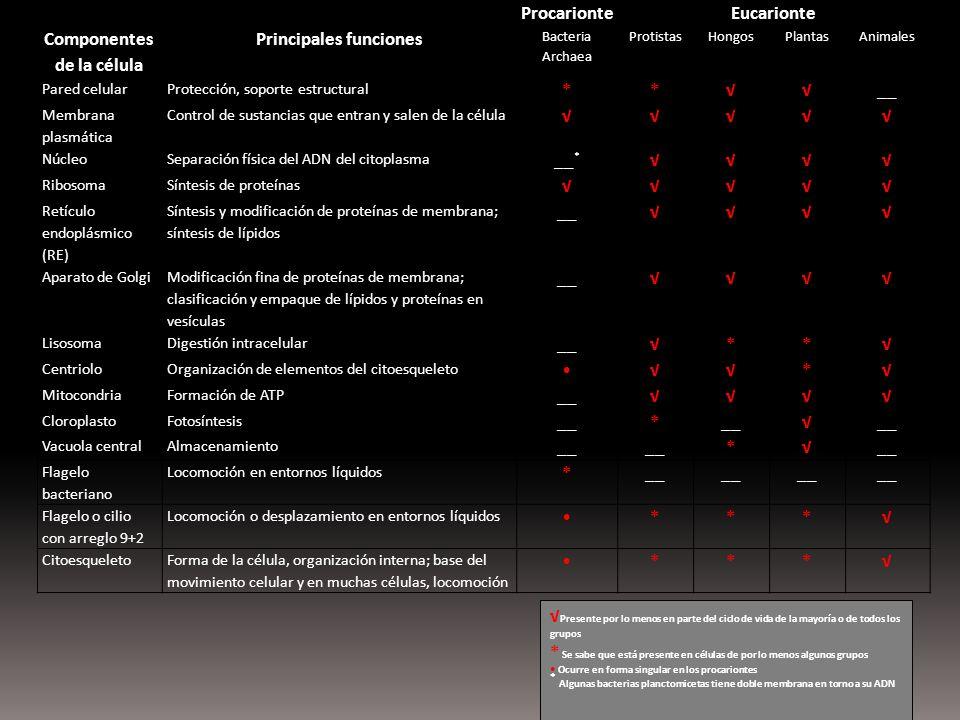 ProcarionteEucarionte Componentes de la célula Principales funciones Bacteria Archaea ProtistasHongosPlantasAnimales Pared celularProtección, soporte