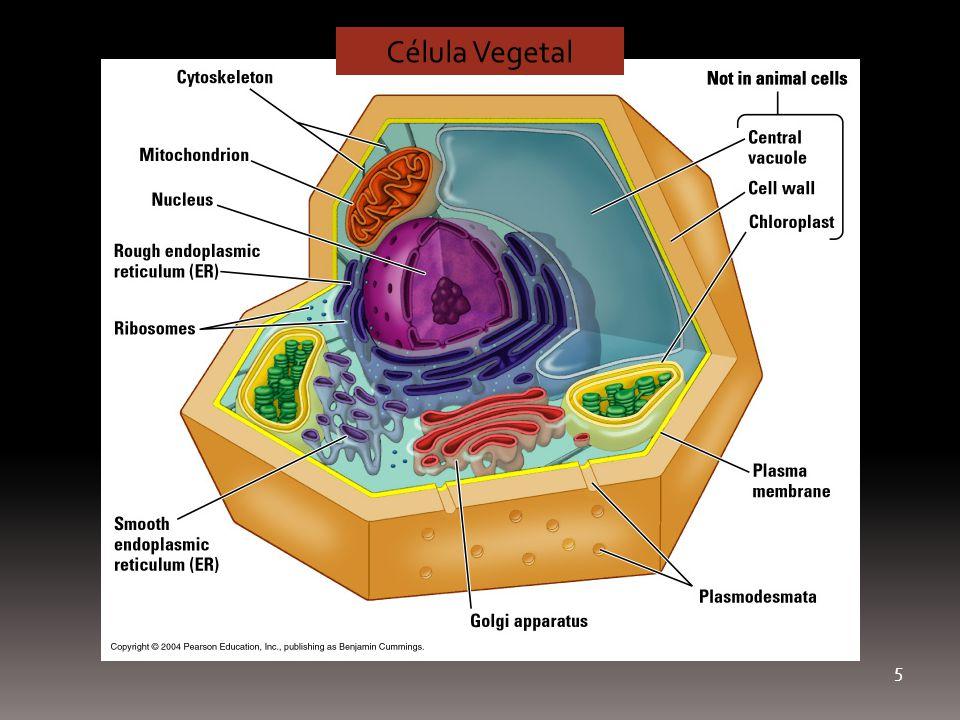 5 Célula Vegetal