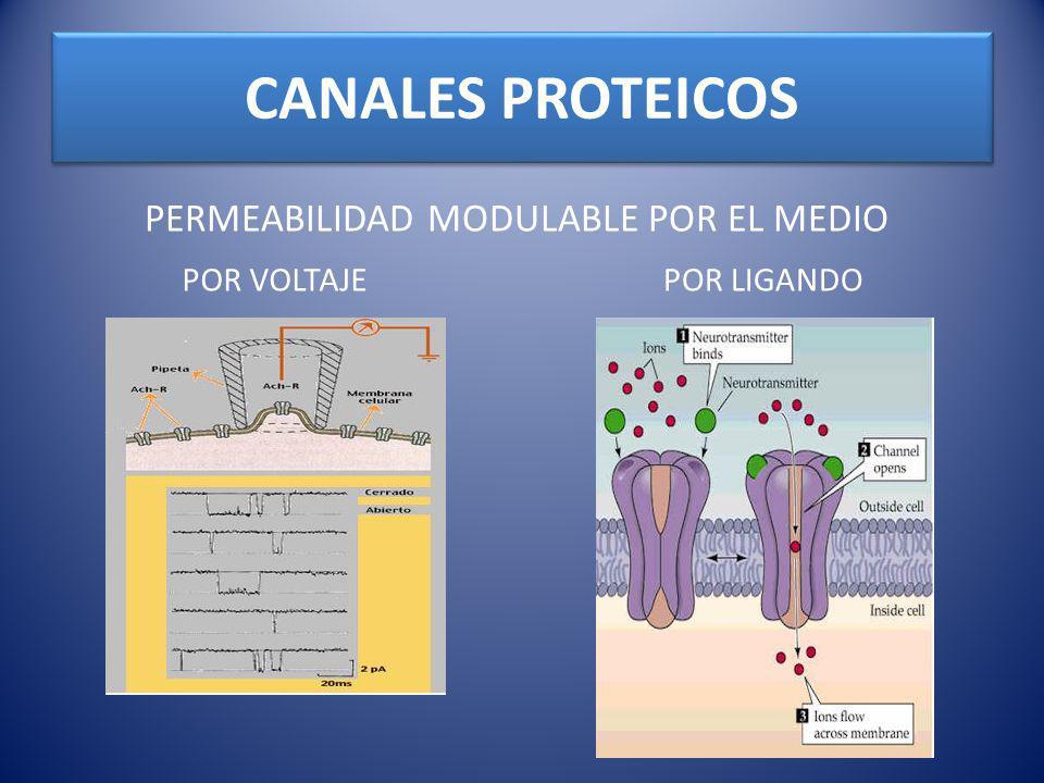 CANALES PROTEICOS PERMEABILIDAD MODULABLE POR EL MEDIO POR LIGANDOPOR VOLTAJE