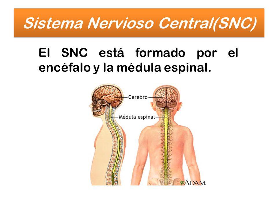 Sistema Nervioso Central(SNC) El SNC está formado por el encéfalo y la médula espinal.