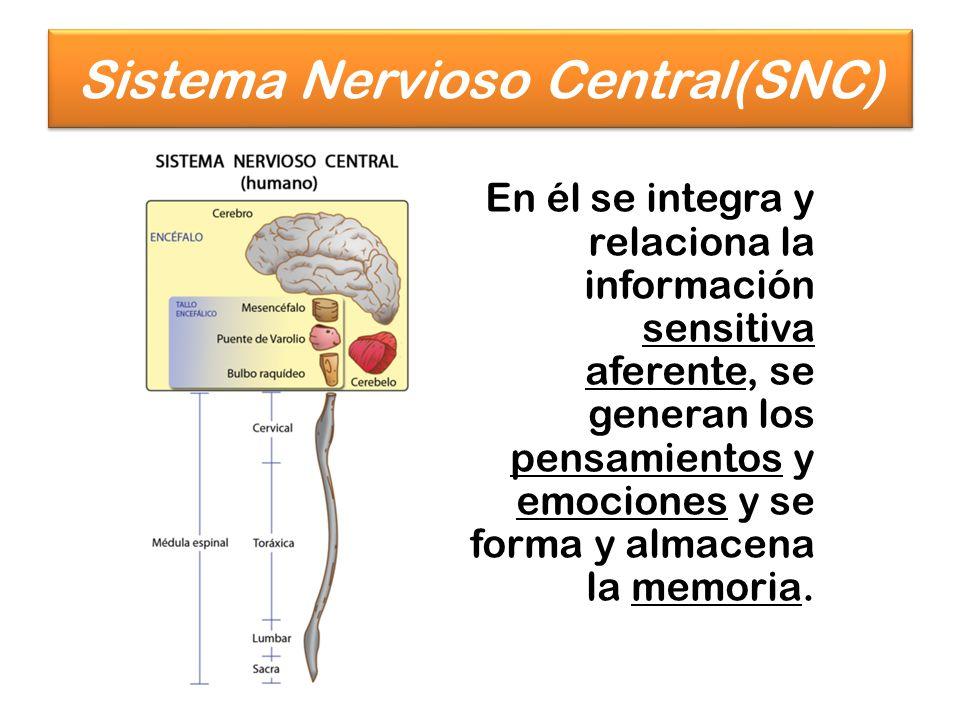 En él se integra y relaciona la información sensitiva aferente, se generan los pensamientos y emociones y se forma y almacena la memoria. Sistema Nerv