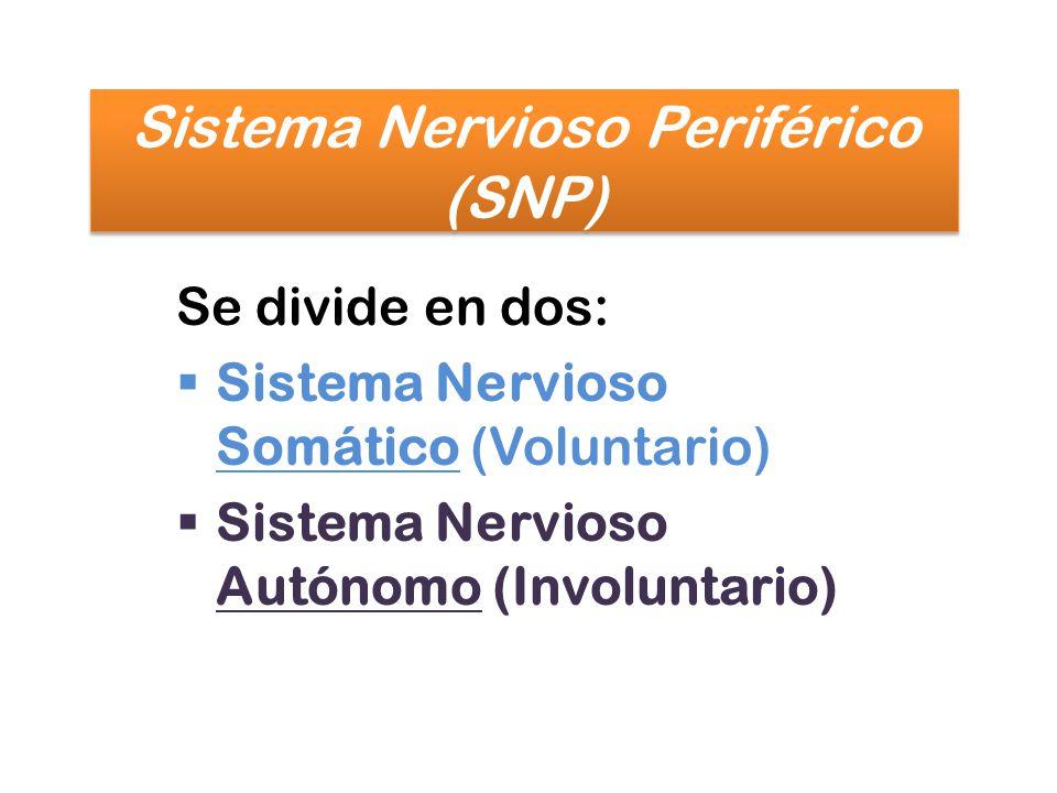 Se divide en dos: Sistema Nervioso Somático (Voluntario) Sistema Nervioso Autónomo (Involuntario)
