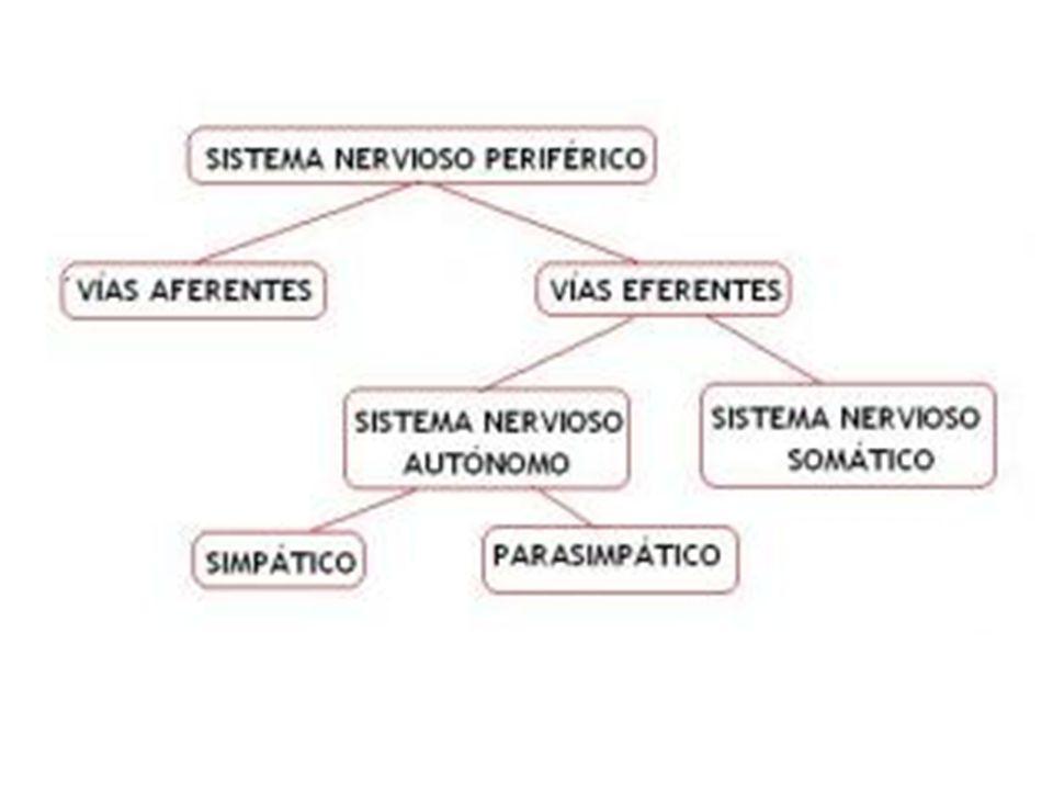 Sistema Nervioso Somático (Voluntario) Está formado por neuronas sensitivas que llevan información (p.