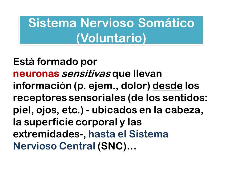 Sistema Nervioso Somático (Voluntario) Está formado por neuronas sensitivas que llevan información (p. ejem., dolor) desde los receptores sensoriales