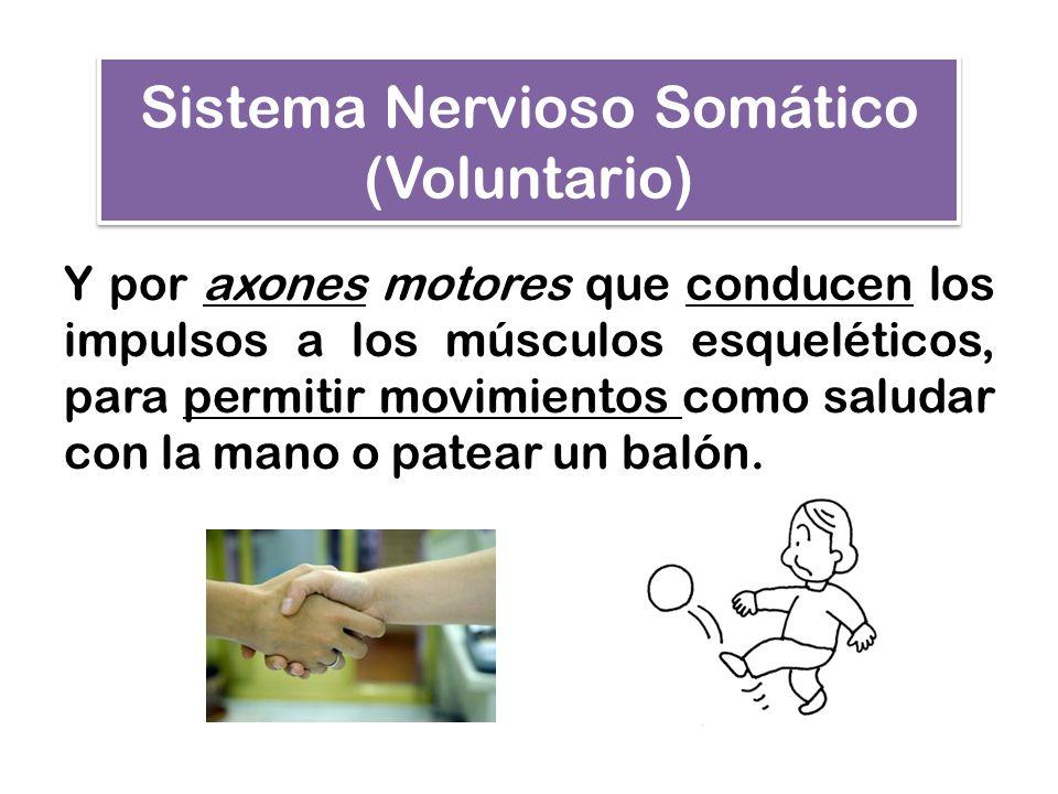 Sistema Nervioso Autónomo (Involuntario) El SNA, (también conocido como Sistema Nervioso Vegetativo) recibe la información de las vísceras y del medio interno, para actuar sobre sus músculos, glándulas y vasos sanguíneos.
