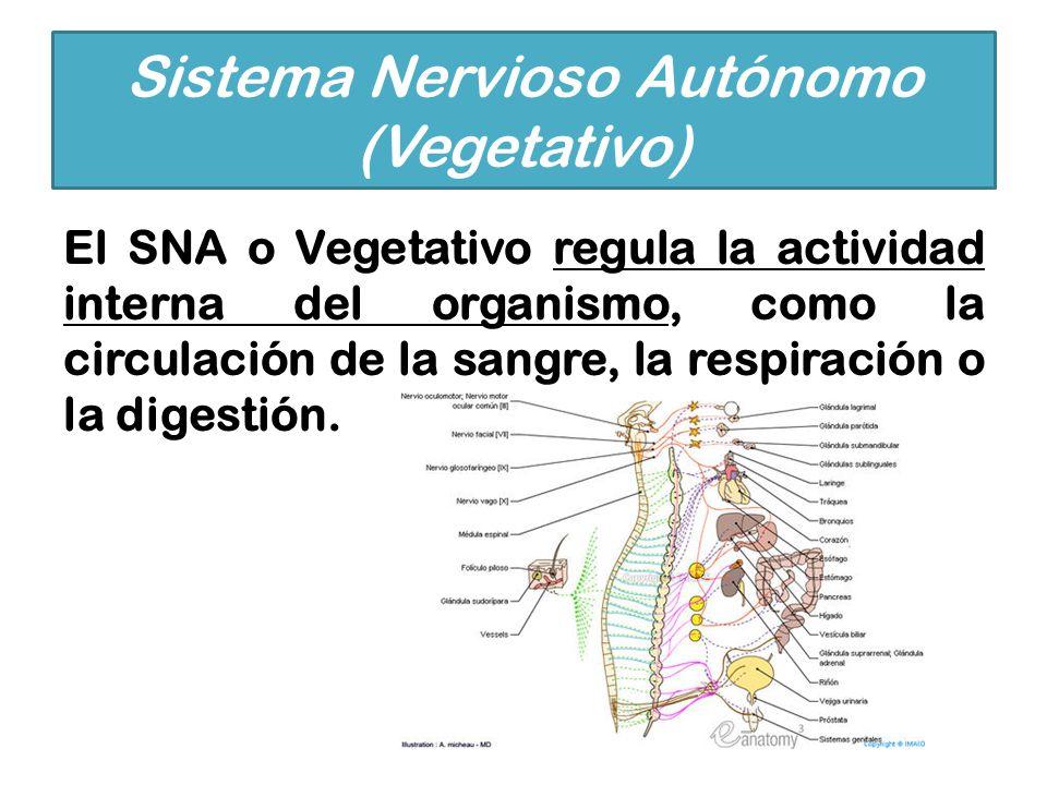 El SNA o Vegetativo regula la actividad interna del organismo, como la circulación de la sangre, la respiración o la digestión. Sistema Nervioso Autón