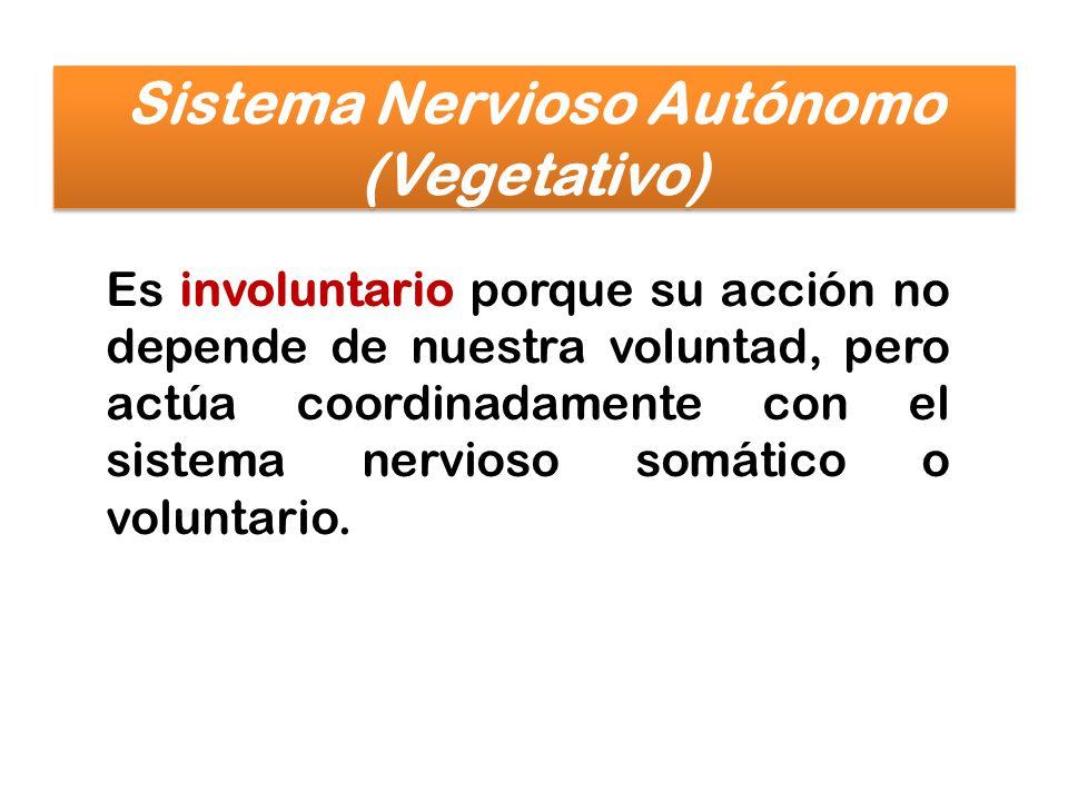 Es involuntario porque su acción no depende de nuestra voluntad, pero actúa coordinadamente con el sistema nervioso somático o voluntario. Sistema Ner