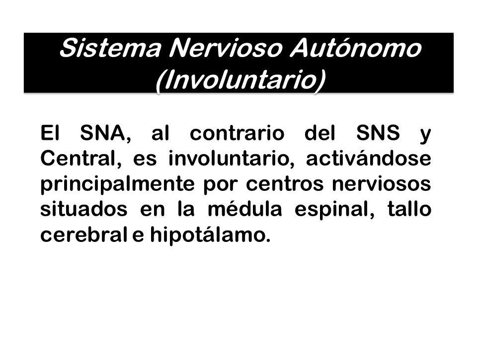 El SNA, al contrario del SNS y Central, es involuntario, activándose principalmente por centros nerviosos situados en la médula espinal, tallo cerebra