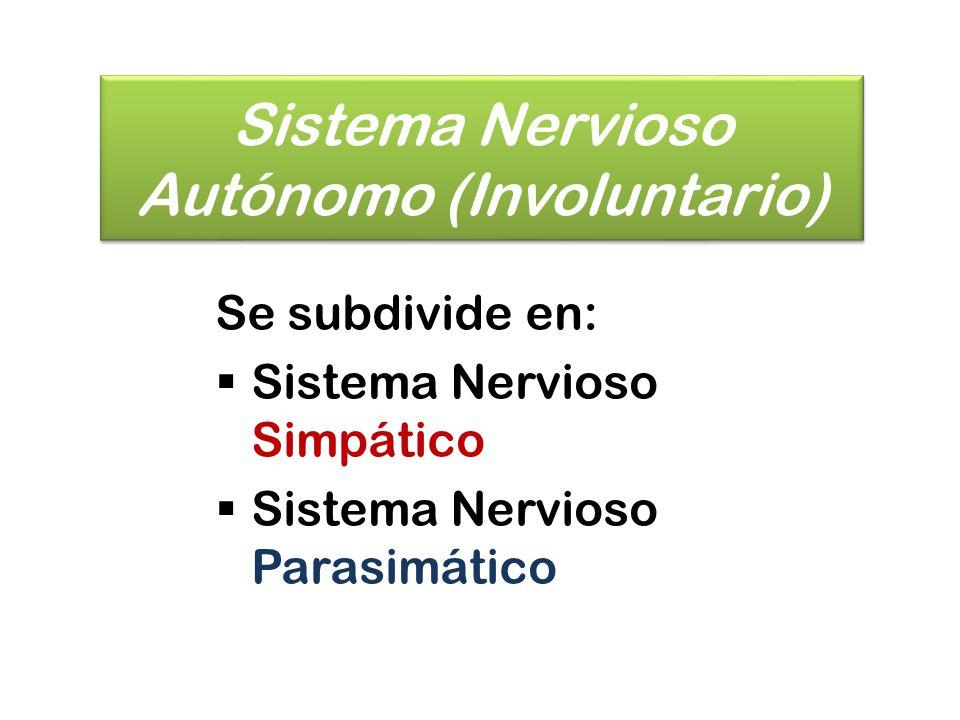 Sistema Nervioso Simpático (SNS) Se considera como una entidad nerviosa diferente que transmite sólo impulsos relacionados con las funciones viscerales que tienen lugar automáticamente, sin que influya la voluntad del sujeto.
