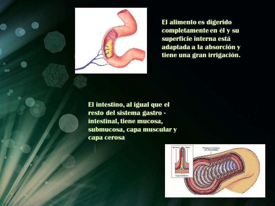 El alimento es digerido completamente en él y su superficie interna está adaptada a la absorción y tiene una gran irrigación. El intestino, al igual q