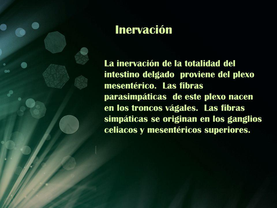 Inervación La inervación de la totalidad del intestino delgado proviene del plexo mesentérico. Las fibras parasimpáticas de este plexo nacen en los tr