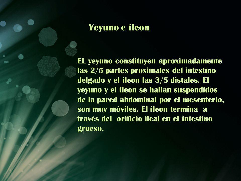 Yeyuno e íleon EL yeyuno constituyen aproximadamente las 2/5 partes proximales del intestino delgado y el ileon las 3/5 distales. El yeyuno y el ileon