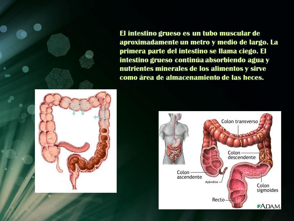 El intestino grueso es un tubo muscular de aproximadamente un metro y medio de largo. La primera parte del intestino se llama ciego. El intestino grue