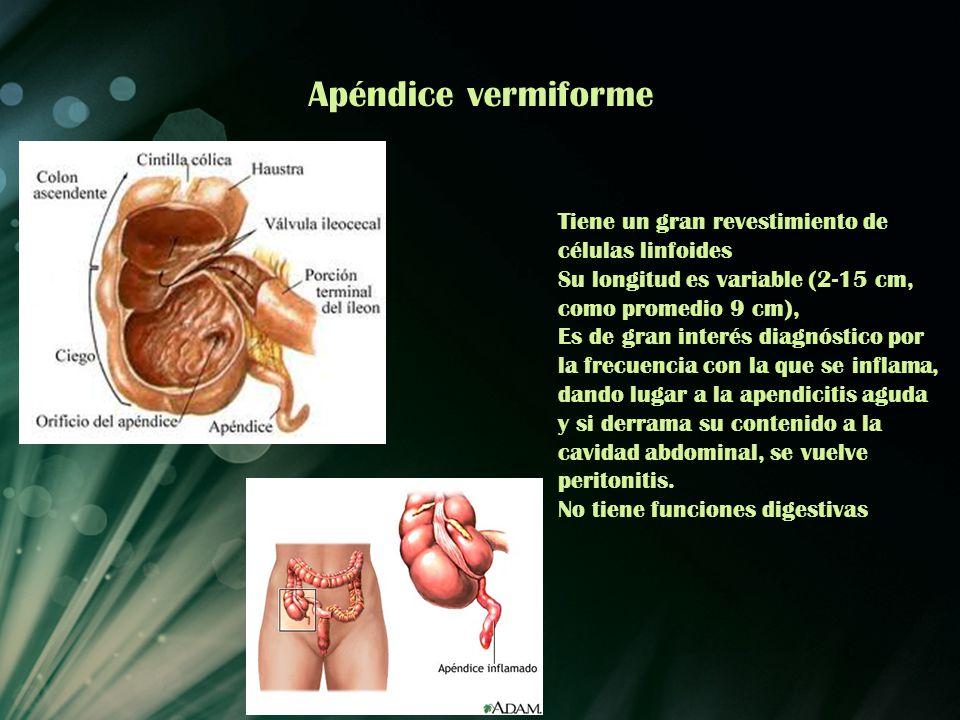 Apéndice vermiforme Tiene un gran revestimiento de células linfoides Su longitud es variable (2-15 cm, como promedio 9 cm), Es de gran interés diagnós