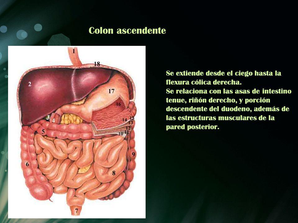Colon ascendente Se extiende desde el ciego hasta la flexura cólica derecha. Se relaciona con las asas de intestino tenue, riñón derecho, y porción de