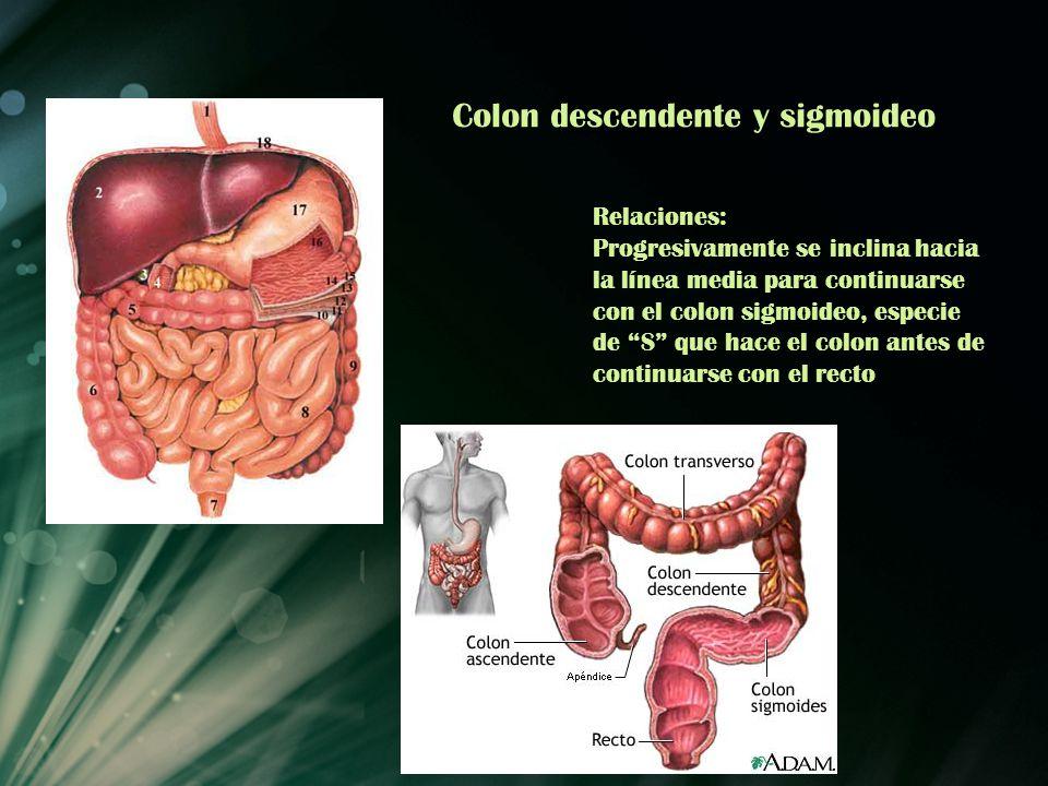 Colon descendente y sigmoideo Relaciones: Progresivamente se inclina hacia la línea media para continuarse con el colon sigmoideo, especie de S que ha