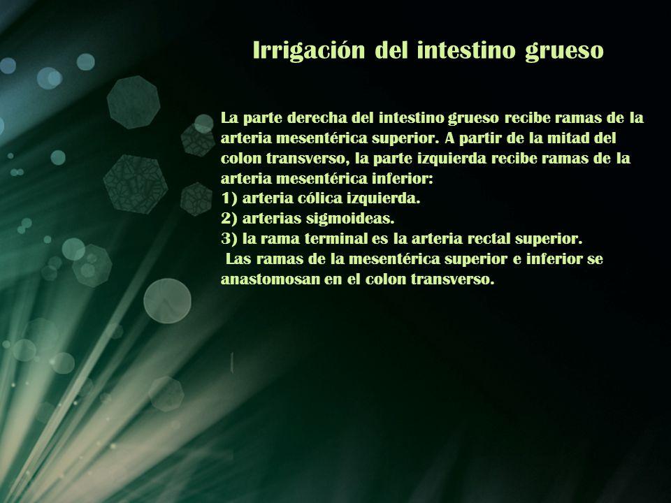 Irrigación del intestino grueso La parte derecha del intestino grueso recibe ramas de la arteria mesentérica superior. A partir de la mitad del colon