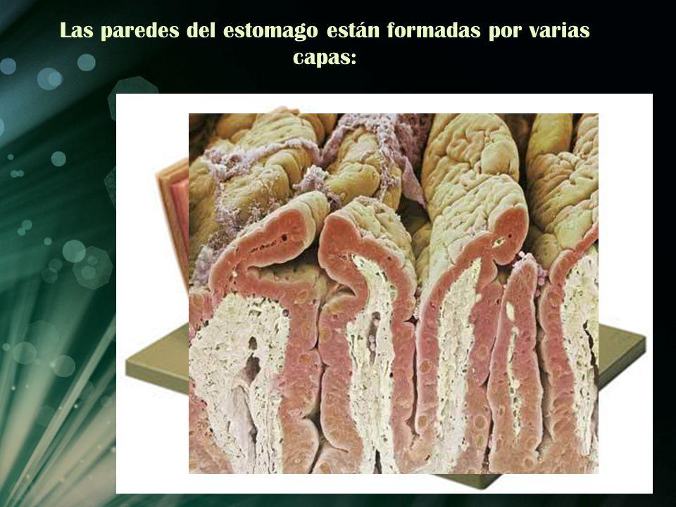 Las paredes del estomago están formadas por varias capas: