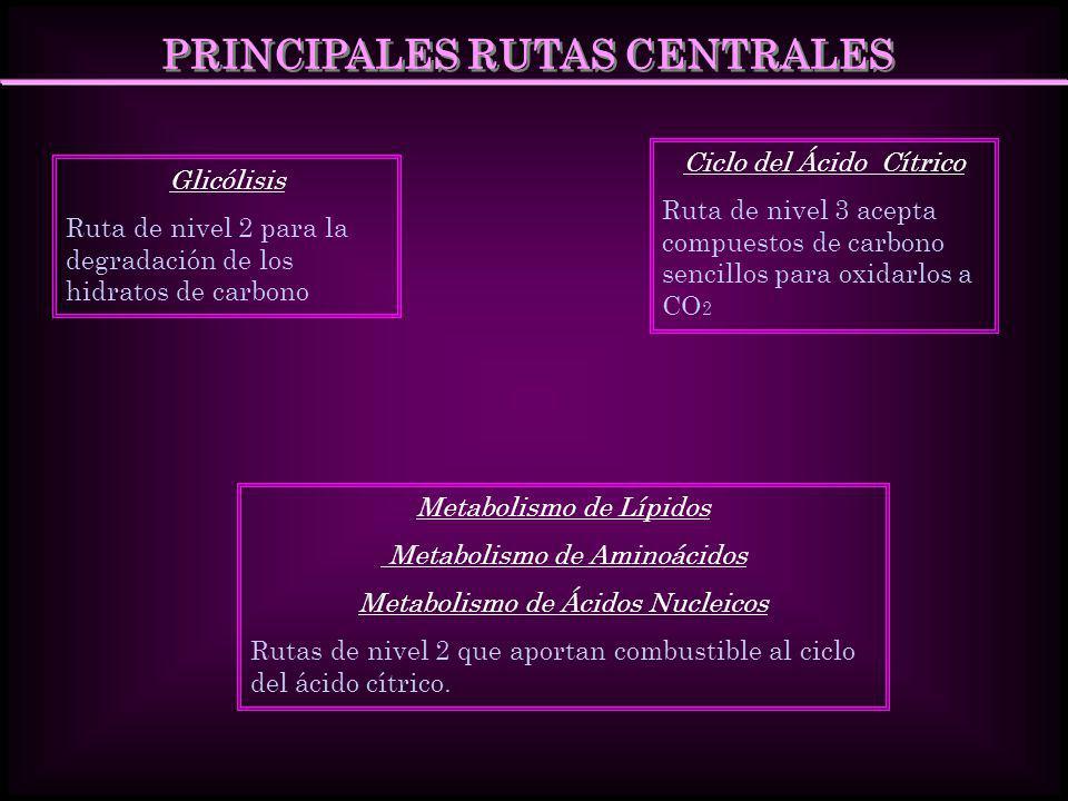 PRINCIPALES RUTAS CENTRALES Glicólisis Ruta de nivel 2 para la degradación de los hidratos de carbono Metabolismo de Lípidos Metabolismo de Aminoácido