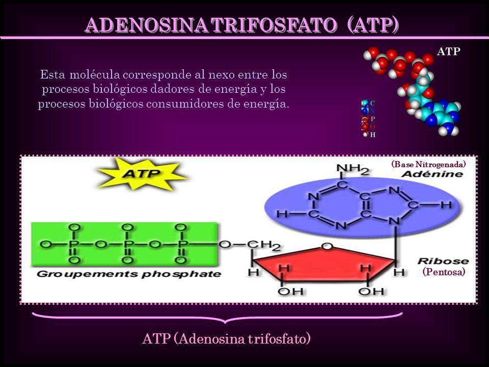ADENOSINA TRIFOSFATO (ATP) Esta molécula corresponde al nexo entre los procesos biológicos dadores de energía y los procesos biológicos consumidores d
