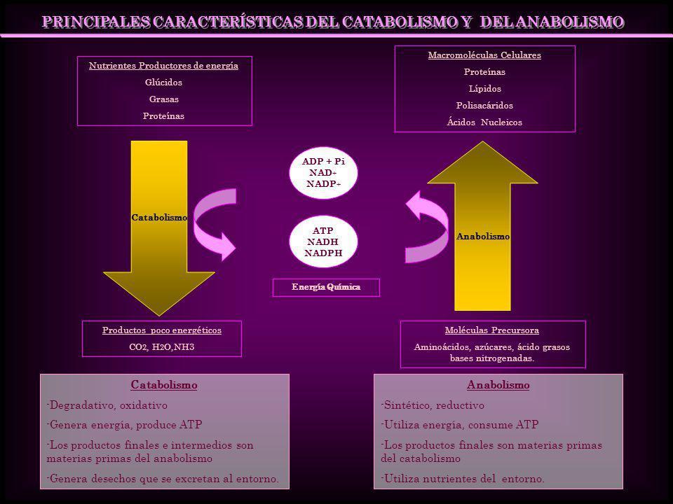 PRINCIPALES CARACTERÍSTICAS DEL CATABOLISMO Y DEL ANABOLISMO Nutrientes Productores de energía Glúcidos Grasas Proteínas Macromoléculas Celulares Prot