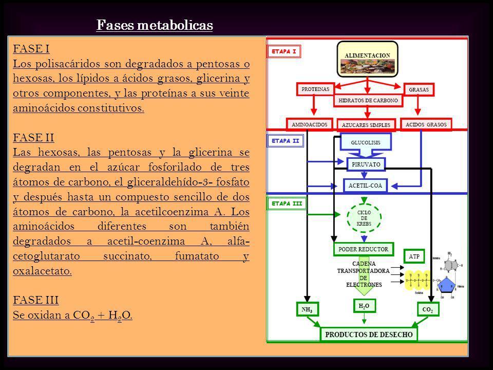 FASE I Los polisacáridos son degradados a pentosas o hexosas, los lípidos a ácidos grasos, glicerina y otros componentes, y las proteínas a sus veinte
