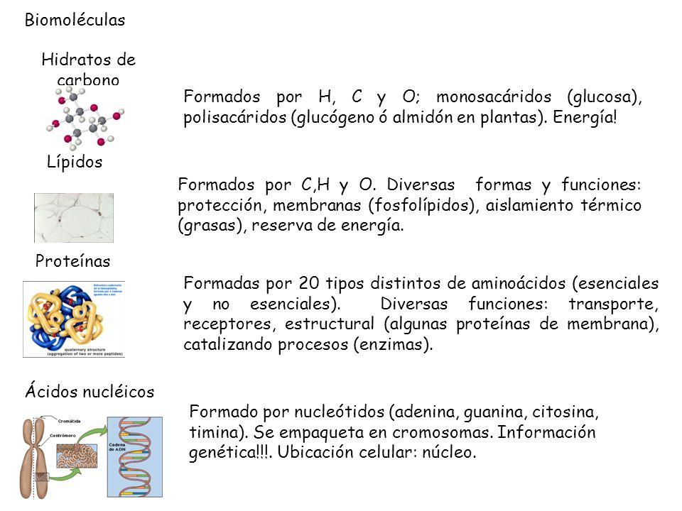 Biomoléculas Hidratos de carbono Formados por H, C y O; monosacáridos (glucosa), polisacáridos (glucógeno ó almidón en plantas). Energía! Lípidos Form