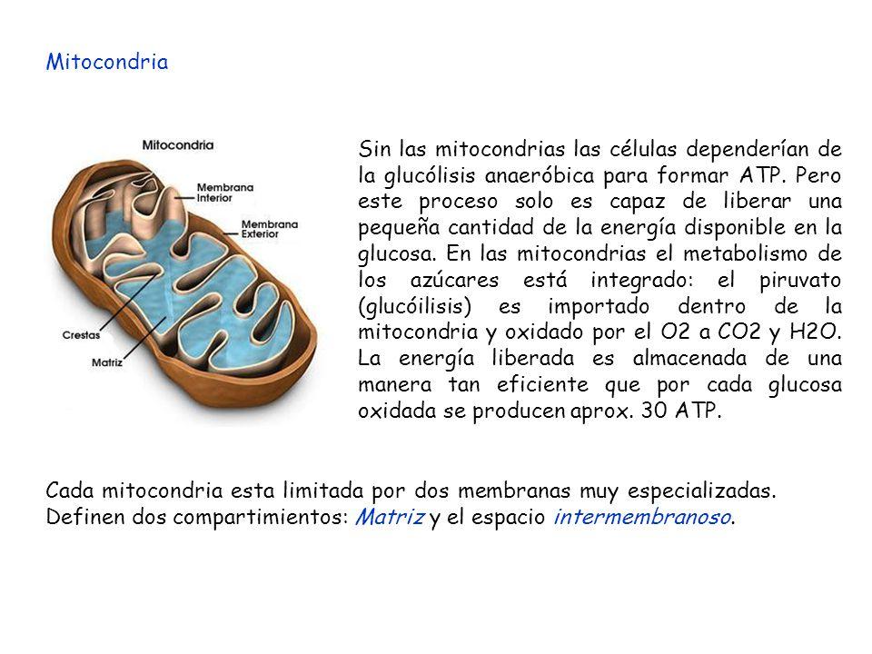 Mitocondria Sin las mitocondrias las células dependerían de la glucólisis anaeróbica para formar ATP. Pero este proceso solo es capaz de liberar una p