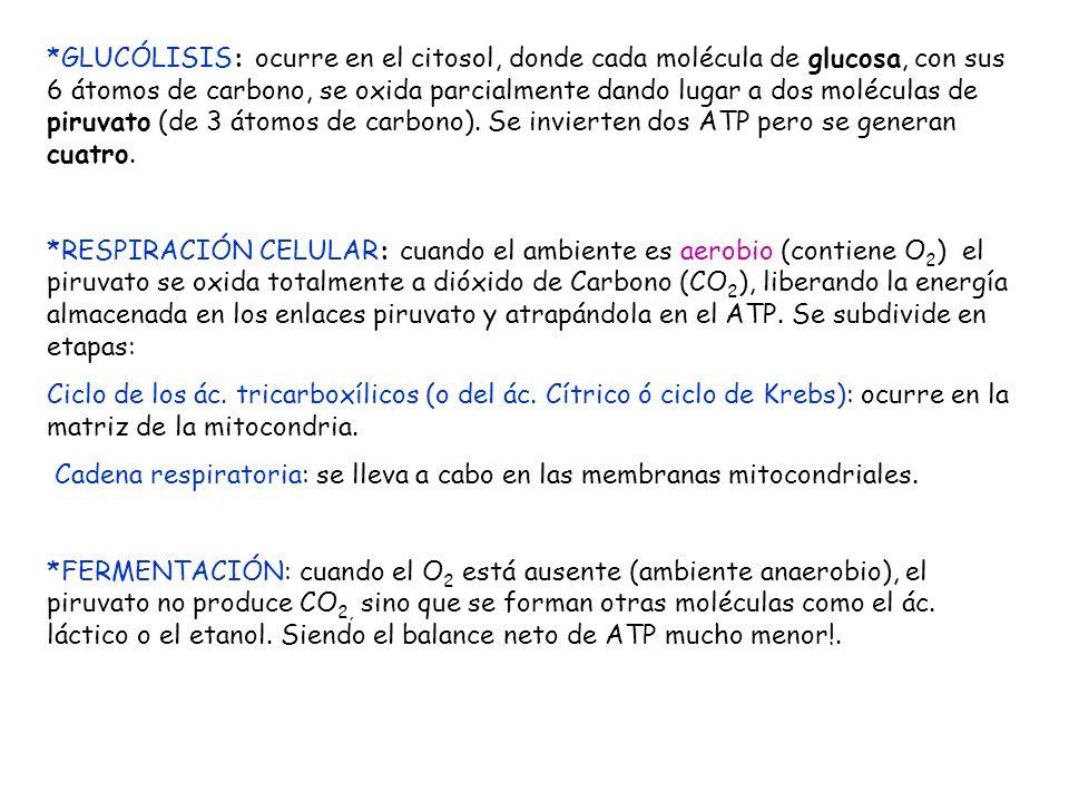 *GLUCÓLISIS: ocurre en el citosol, donde cada molécula de glucosa, con sus 6 átomos de carbono, se oxida parcialmente dando lugar a dos moléculas de p