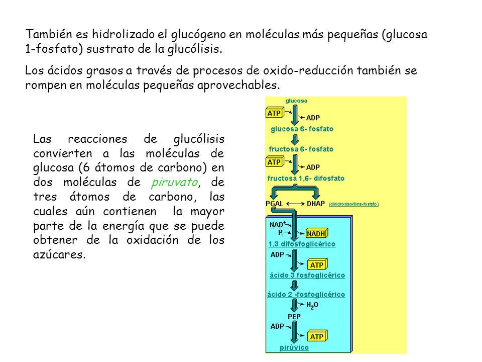 También es hidrolizado el glucógeno en moléculas más pequeñas (glucosa 1-fosfato) sustrato de la glucólisis. Los ácidos grasos a través de procesos de
