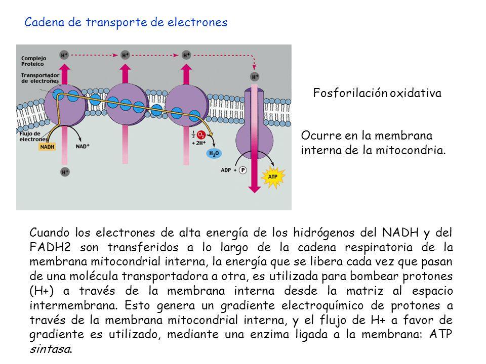 Cadena de transporte de electrones Ocurre en la membrana interna de la mitocondria. Fosforilación oxidativa Cuando los electrones de alta energía de l