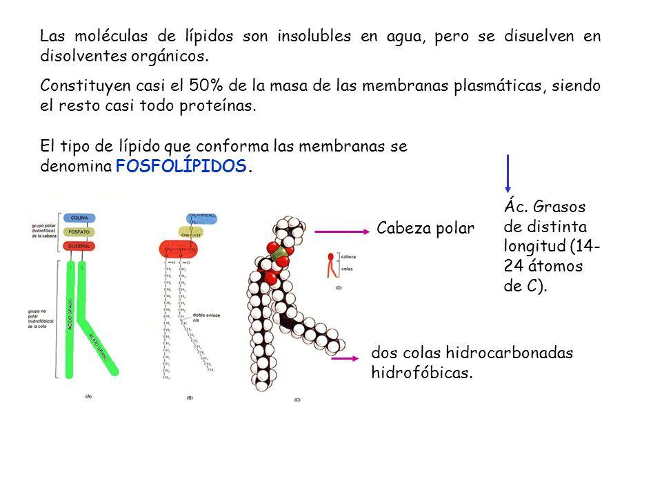 Las moléculas de lípidos son insolubles en agua, pero se disuelven en disolventes orgánicos. Constituyen casi el 50% de la masa de las membranas plasm